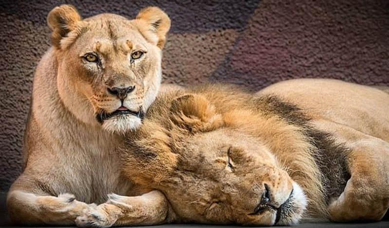 Lion at Etawah Safari Park tests positive for COVID 19