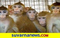 <p>monkeys</p>