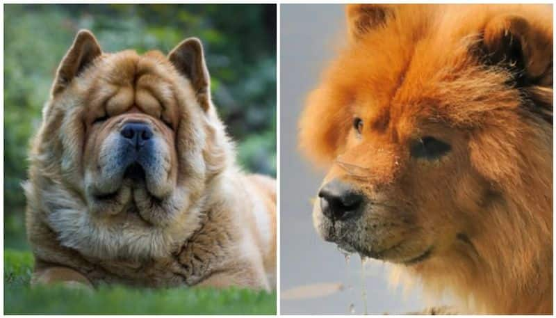 Chow Chow Pet Dog mauls 12 days old baby of the house to death mother inconsolable