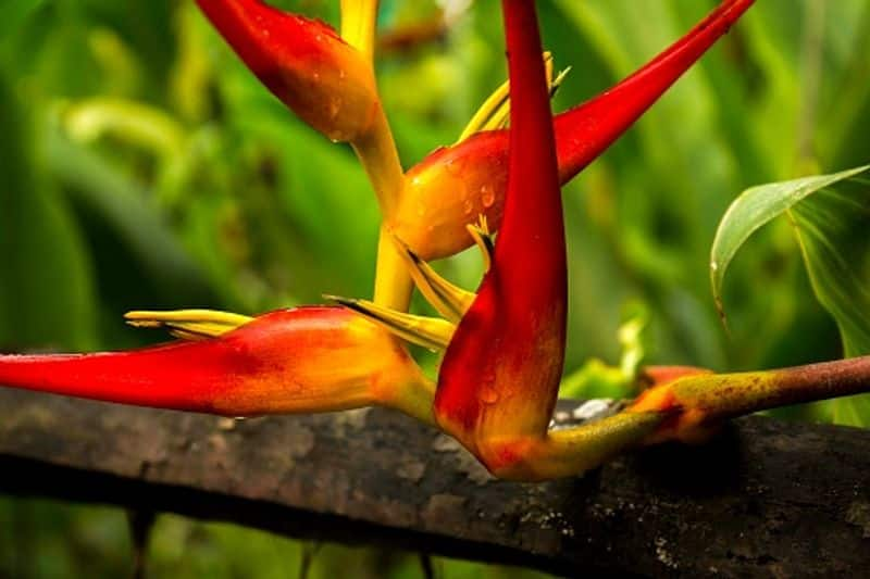 Heliconia Plant how to grow and care