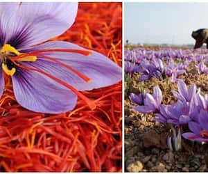 falling production for saffron farmers in Kashmir, demand for prinkle irrigation from centre