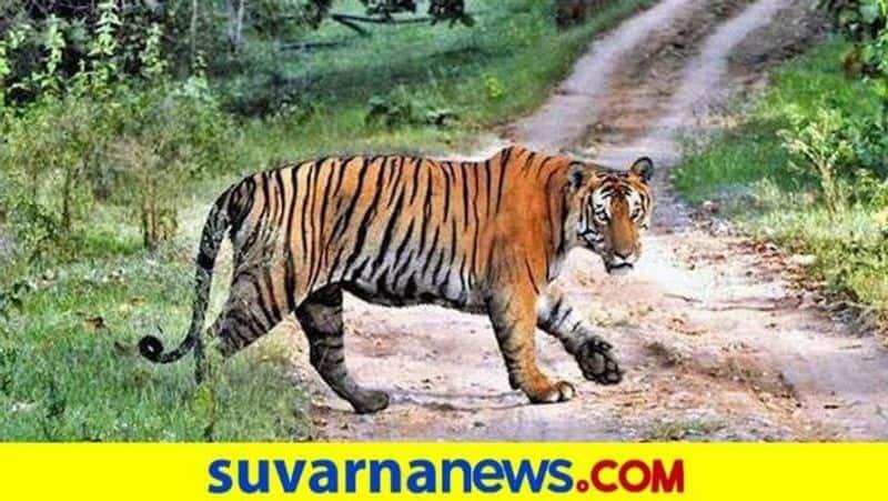 Karnataka govt issues shoot-at-sight order for tiger in kodagu snr