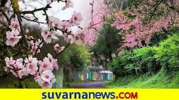 <p>Shillong Cherry Blossom</p>
