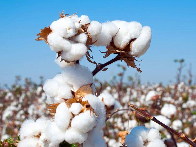 Guntur farmers sell cotton in open markets at handsome prices