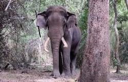<p>Wild Elephant Wayanad&nbsp;</p>