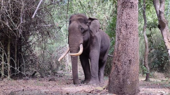 man killed by elephant attack