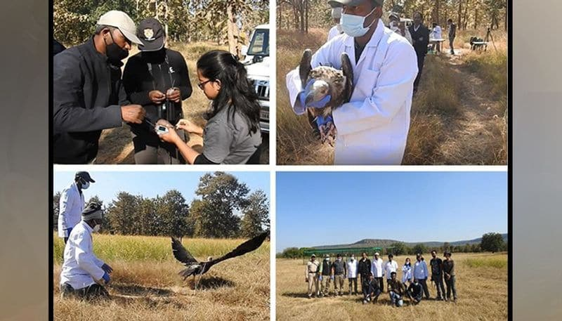 In the next few days, over 25 vultures will be tagged in the largest exercise of vulture tagging in India to study their movement ecology and breeding status to support their conservation.