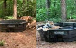 <p>tiger</p>