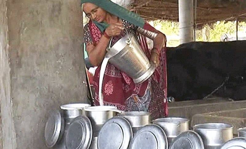 She employs around 15 people in the village with her income. They take care of the animals. Nawalben herself milks these cows in the morning.