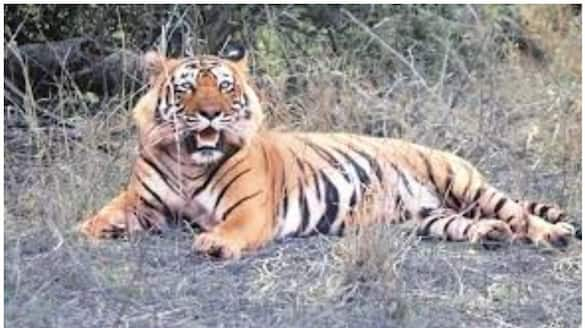Rajasthan Maharashtra reopen its tiger reserves to tourism after NTCA leaves decision to states-ycb
