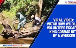 Viral video: Watch how wildlife volunteer escapes king cobra's bite by a whisker