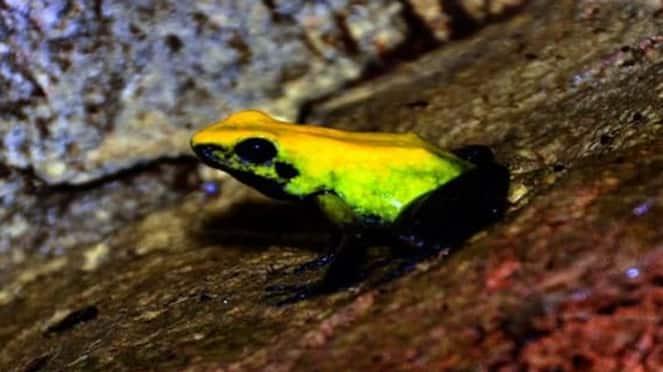 Monsoon Season Begins Yellow Frogs in Uttara Kannada hls