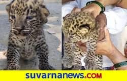 <p>Leopard cubs</p>