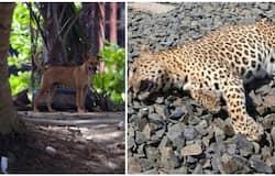 <p>dog leopard attack</p>