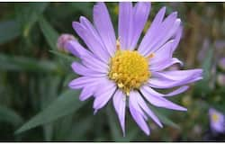 <p>New York aster (Symphyotrichum novi-belgii) at the Florence Nightingalepark, The Hague, October 2004</p>