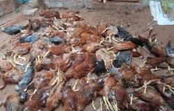 <p>Stray dog killed chicken</p>