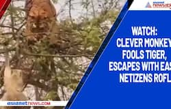 Watch: Clever monkey fools tiger, escapes with ease; netizens ROFL