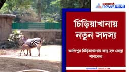 Mother zebra give birth of a baby zebra in Alipore zoo Pnb