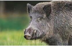 <p>wild boar</p>