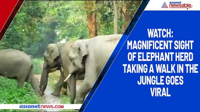 Watch Magnificent sight of elephant herd taking a walk in the jungle goes viral-tgy