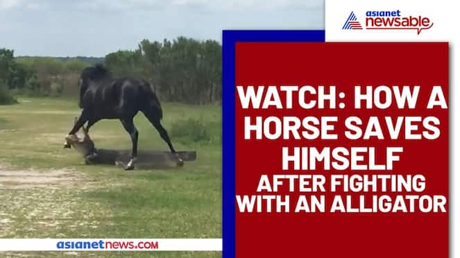 A horse attacked Alligator? Find out what happens next - gps