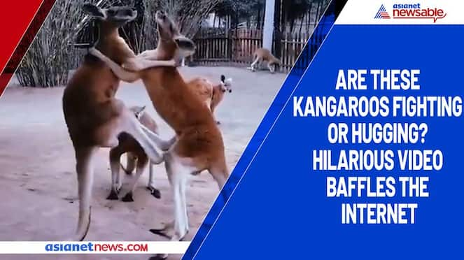 Are these kangaroos fighting or hugging? Hilarious video baffles the internet-tgy