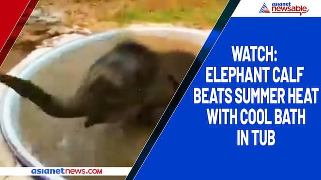 Watch Elephant calf beats summer heat with cool bath in tub-tgy