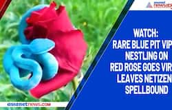 Watch: Rare blue pit viper nestling on red rose goes viral; leaves netizens spellbound
