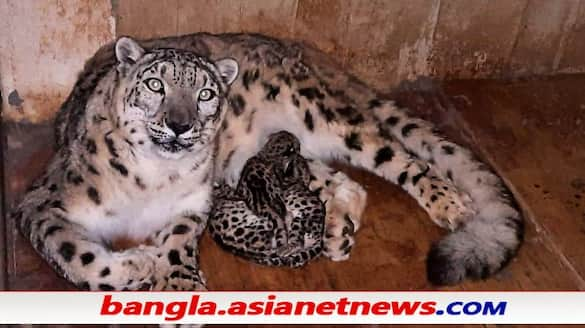 3 Snow leopards born at Darjeeling Zoo, part of conservation breeding project ALB