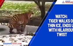 <p>Watch: Tiger walks on thin ice, ends up with hilarious twist</p>
