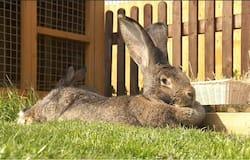 <p>darius-longest-rabbit</p>