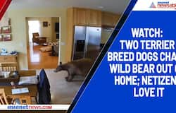 Watch: Two terrier breed dogs chase wild bear out of home; netizens love it