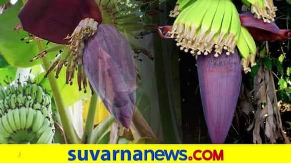 Channapatna Farmer Destroys 3 Acres Of Banana Crops snr