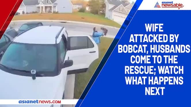 Wife attacked by bobcat, husbands come to the rescue; watch what happens next-tgy