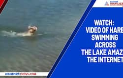 Watch: Video of hare swimming across the lake amazes the internet