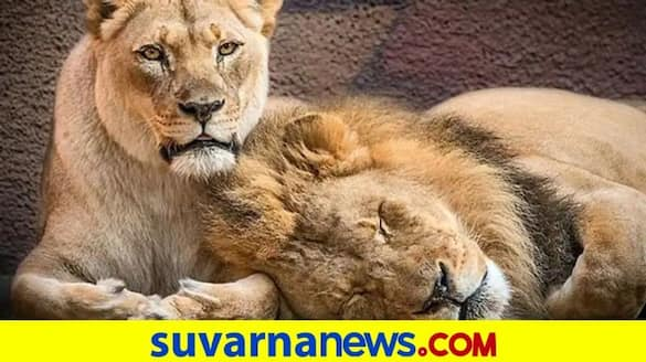 8 lions in Hyderabad zoo test positive for Covid 19 dpl