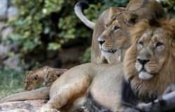 <p>Asiatic lion</p>