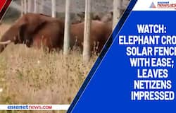 Watch: Elephant cross solar fence with ease; leaves netizens impressed