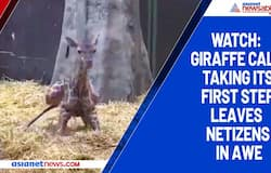 Watch: Giraffe calf taking its first step leaves netizens in awe