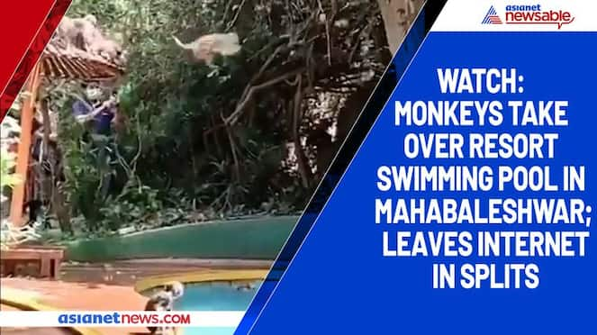 Watch Monkeys take over resort swimming pool in Mahabaleshwar; leaves internet in splits-tgy