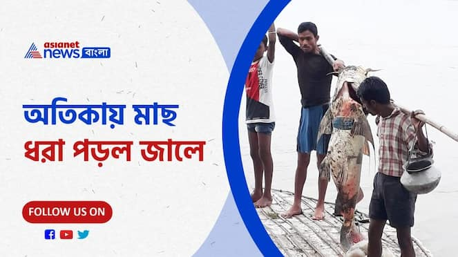 Giant fish rescued from Jaldhaka river, video goes viral PNB