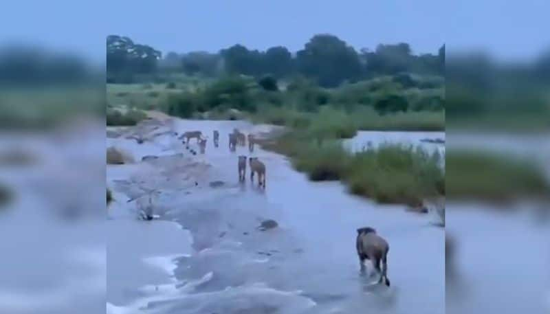 Viral video of group of lions moving in Gir forest after the cyclone Tauktae PNB