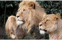 <p>lion</p>