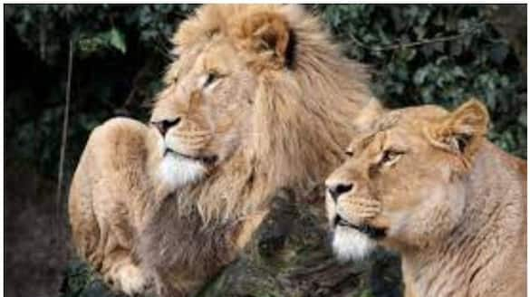 Twp lions tested positive for COVID 19 in Tamil nadu Arinagar Anna Zoological Park ckm