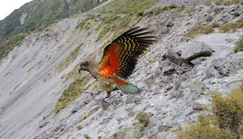 Kea parrots migrating to mountains to avoid people