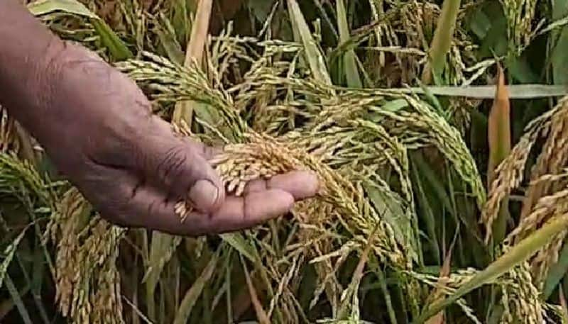 Acre after acre of paddy-maize is being wasted, farm laborers fleeing for fear of infection bpsb