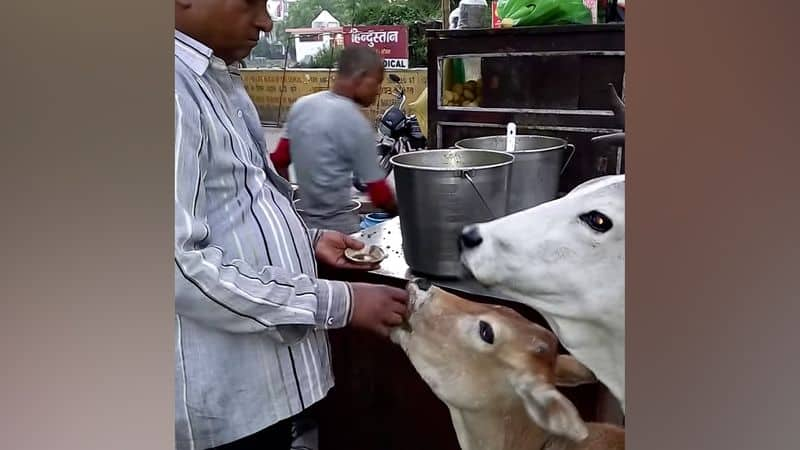 Man feeds golgappas to cow and calf, video goes viral in social media bmm