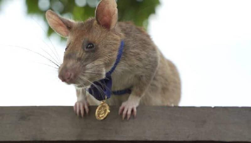 Magawa landmine detection rat retires