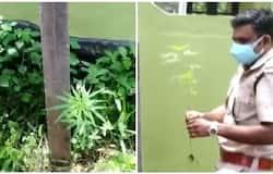<p>cannabi plant</p>
