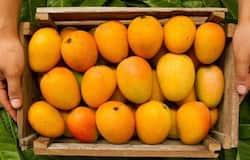 <p>mango</p>